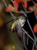 Calliope Hummingbird in Fort Tryon NYC